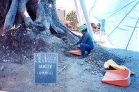 樹勢回復事業の様子