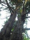 湯沢の思い杉