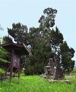 古長禅寺のビャクシン